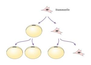 Stammzellenanreicherung