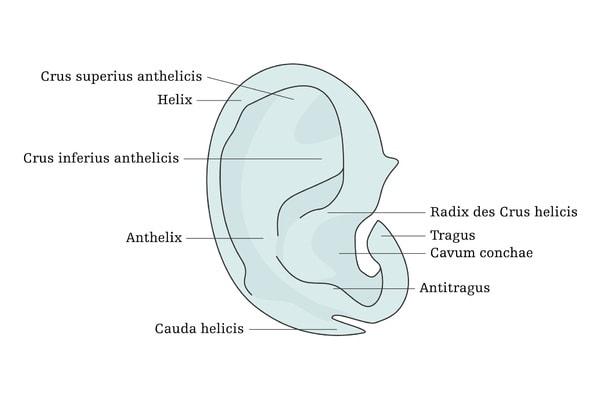 Ohrenkorrektur   Anatomie Ohrskelett