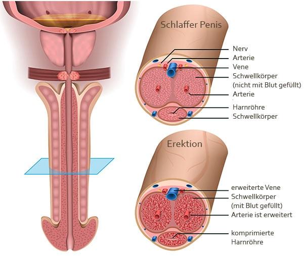 Querschnitt eines Penis zur besseren Veranschaulichung wie eine Penisverdickung möglich ist.
